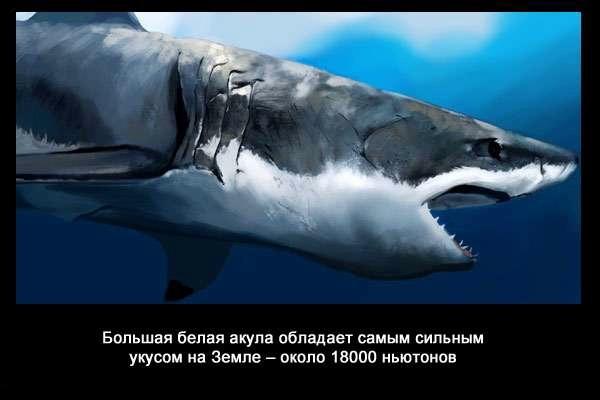 валтея - Интересные факты о акулах / Хищники морей.(Видео. Фото) VbfjBEYY8kc