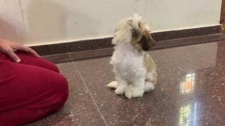 Shih Tzu Funny Training Video   Shih Tzu Puppy