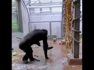 В зоопарке Таллинна шимпанзе прибралась в своей клетке с помощью забытой уборщиком швабры.