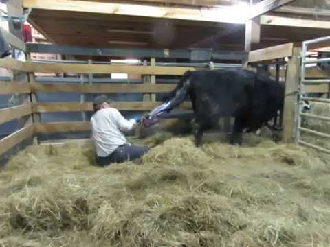 One Man Calf Pulling