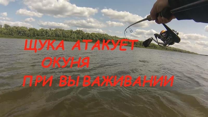Рыбалка на лайт спиннинг Щука атакует окуня при вываживании река Ока Рязанская область