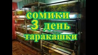 Сомики 3 дня Таракашки