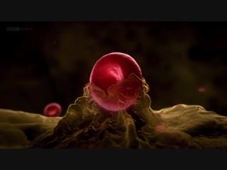 BBC. Удивительный мир крови