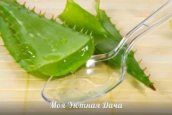подкормим растения соком алоэ. сок алоэ является биостимулятором роста. его используют для увеличения всхожести семян. при замачивании семян в воду добавляют несколько капель сока алоэ,