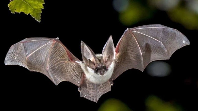Летучая МЫШЬ опасный ВАМПИР или сборщик нектара Интересные факты о летучих мышах Рукокрылые