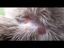 Лишай у кошек. Как лечить лишай у котов причины, симптомы, профилактика