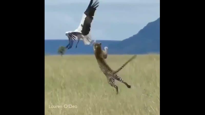 Аист чудом не стал обедом леопарда