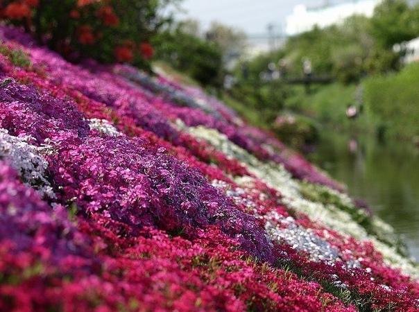 """буйство красок травяной сакуры на этих захватывающих дух фотографиях вы увидите японские поля цветущей весной шиба-закура, или если по-русски — """"травяной сакуры"""". на полях растет 9 видов такой"""