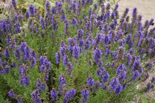 Иссоп является ценнейшим лекарственным растением, о целебных свойствах которого было известно еще в начале четырнадцатого столетия.