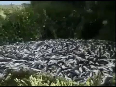Тонны выловленного тихоокеанского лосося выброшены