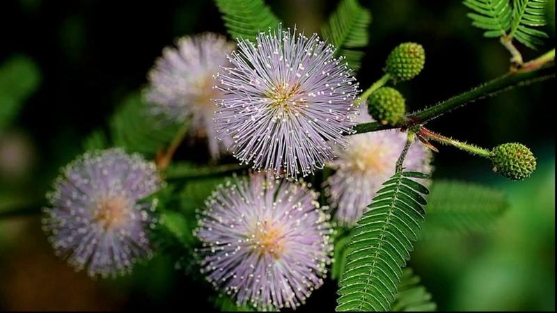 ❀ Мимоза стыдливая Mimosa pudica Выращивание в домашних условиях Полезные свойства