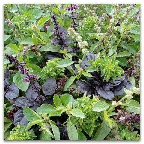 базилик. ароматные сорта на данный момент существует широкий выбор сортов базилика различающихся по вкусу, аромату, окраске листьев и другим признакам. я сажаю обычно несколько сортов базилика.