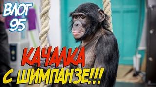 Качалка с шимпанзе!!! // Обезьяны подрались // Что с животными???