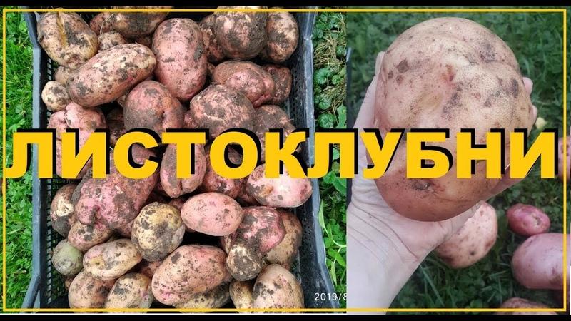 Картофель Как за месяц обновить свой посадочный материал