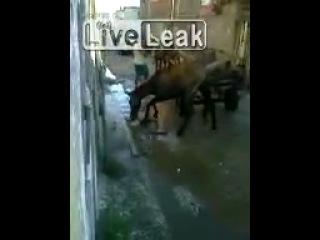 Питбуль против лошади