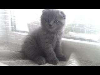 Продаем британские коротко и длинношёрстные, Скоттиш фолды,шотландские вислоухие котята!