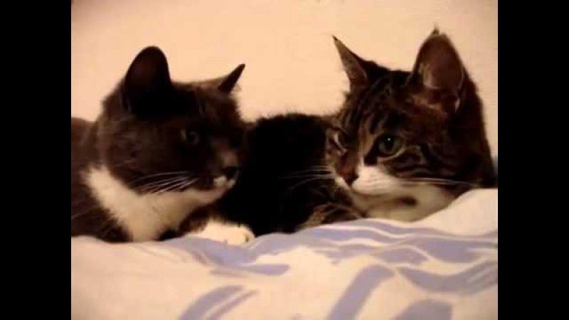 Два кота разговаривают как люди.