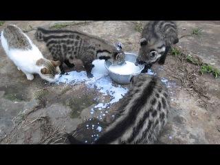 African Civet Cats' Feeding Frenzy
