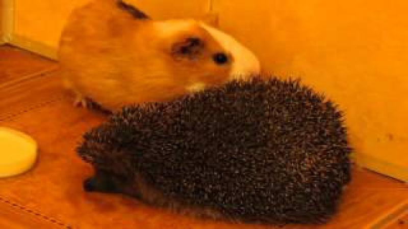 Морська свинка гризе їжачка. Їжачок не проти. Guinea pigs and hedgehog