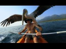 GoPro Pelican Learns To Fish