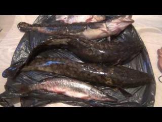 Щука налим карась детальное в высокой четкости рассмотрение строения этих рыб