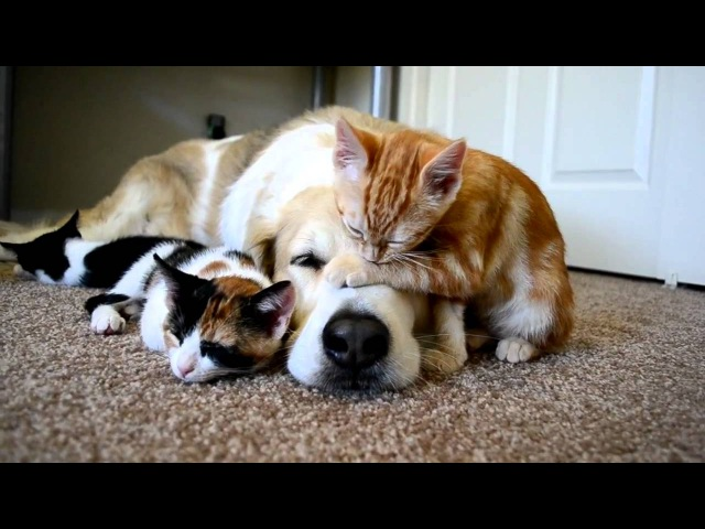Video 34 CUTENESS OVERLOAD A dog sleeping with his KITTENS