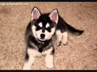 Все породы собак.Аляскинский Кли Кай (Alaskan Klee Kai)
