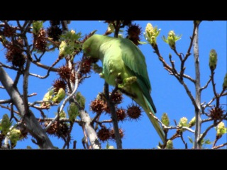 Parakeets, Rose-ringed, Ring-neck, Psittacula krameri