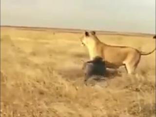 Благородные животные, даже матерые хищники, не убивают просто так, если они сыты... в отличие от людей..