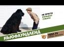 Все для животных Ньюфаундленд собака спасатель