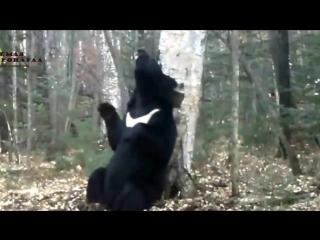 Медведь-почесун на 'Земле леопарда'