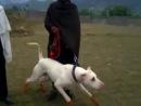 Бойцовые собаки - гуль донг в Пакистане