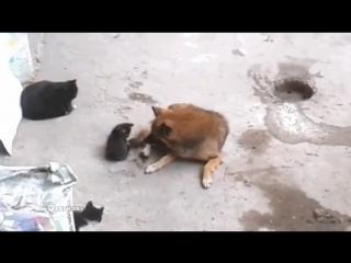 Кошка знакомит своих котят с лучшим другом!