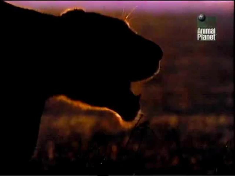Дневник большой кошки |  Big Cat Diary. (сезон 1, серия 1) (1996)