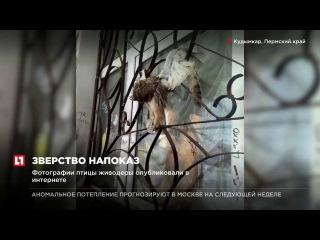 Пермские подростки повесили труп совы на здание дома культуры