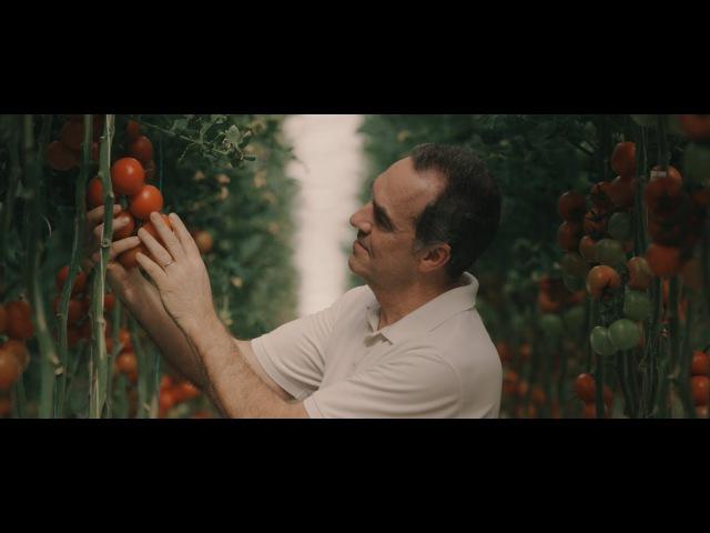 Гидропонная ферма выращивает 54 тонны томатов в неделю