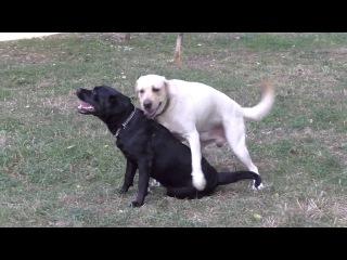 Толстый лабрадор Джим и его подруга Арти. Thick funny Labrador Jim and his girlfriend Artie.