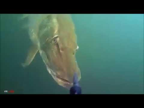 Ölü yem ile turna avı sahte maket balık rapala