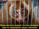Вам кажутся милыми эти лемуры Смотрите, чем расплачиваются животные. (6 sec)