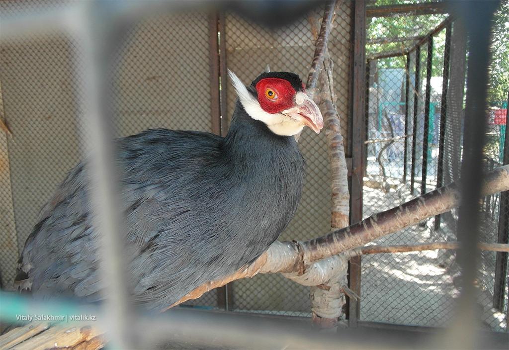 Голубой ушастый фазан в зоопарке Алматы