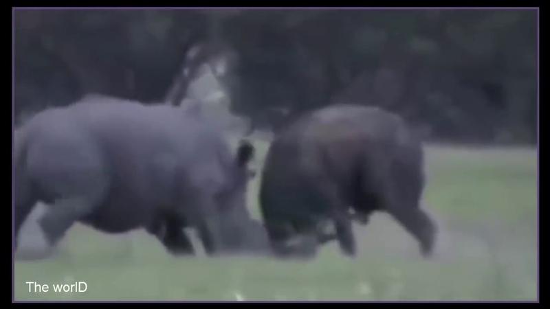 MATAR OU MORRER Búfalo vs Rinoceronte ATÉ A MORTE