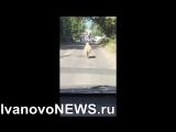 В Иванове на Курбан байрам баран сбежал от заклания и бегал по дорогам города