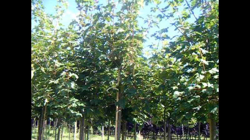 Sap Trees Acer pseudoplatanus 8 10cm girth