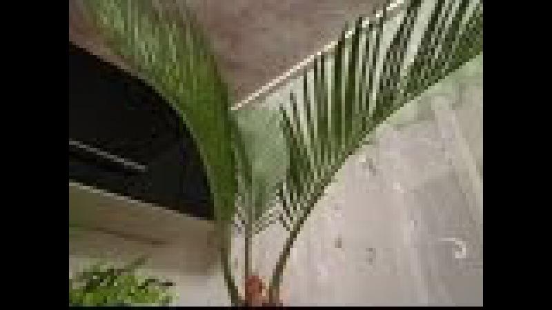 Цикас 1 Саговник саговая пальма тропический красавчик Большой обзор