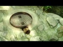 Raccoon in sewer/ Енот в люке