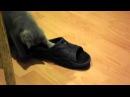 Шотландская прямоухая кошка котенок 3 месяца Scotish strite