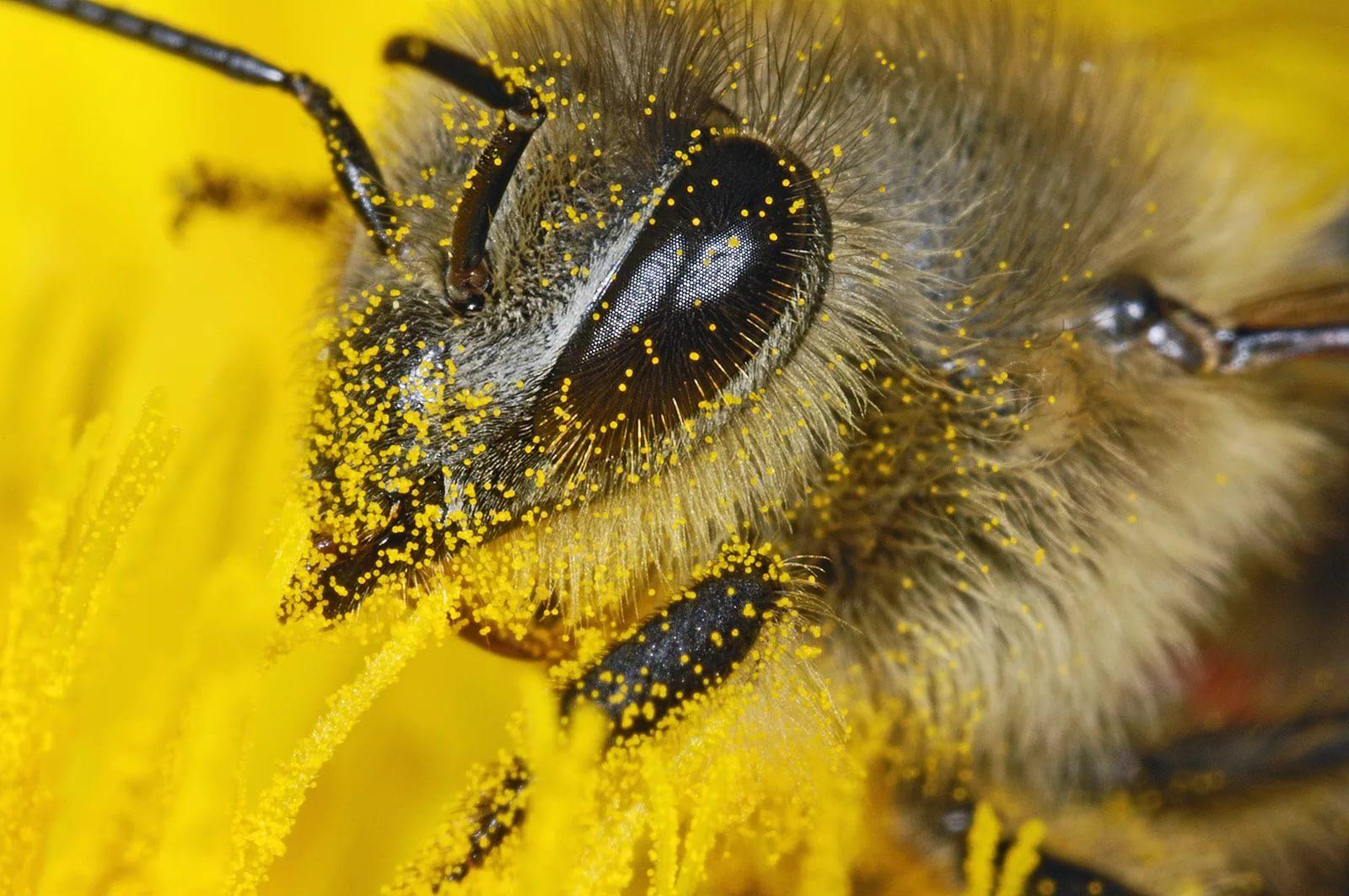 Что такое пчелиная пыльца?