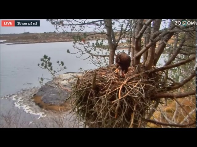 W.T.E. - cam / 23. Dec. 2017 /Eight month old eagle got a fish delivery on the nest from his Dad