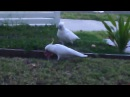 Sulphur Crested Cockatoos eating meat