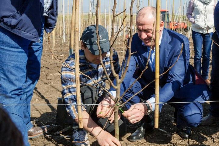 Первый в России новый грушевый сад заложили в Карачаево-Черкесии